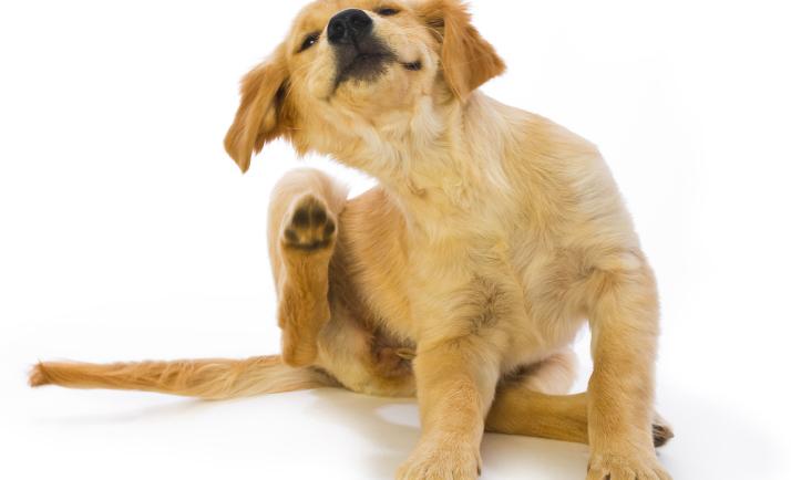 Φυσική προστασία από έντομα για σκύλους